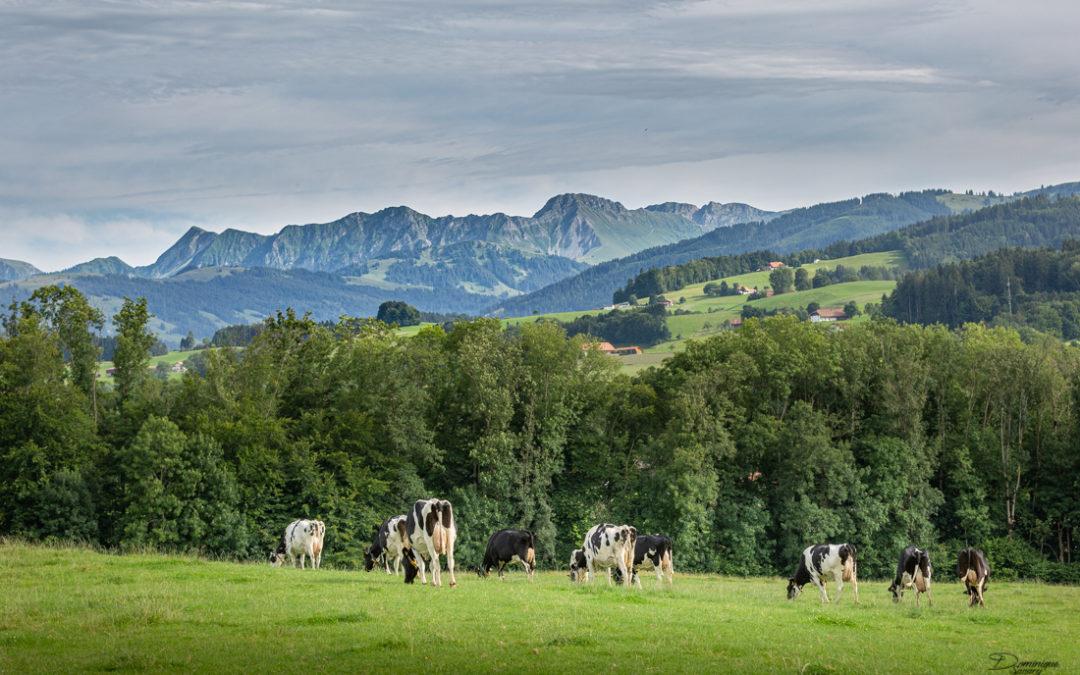 Galtera Holstein